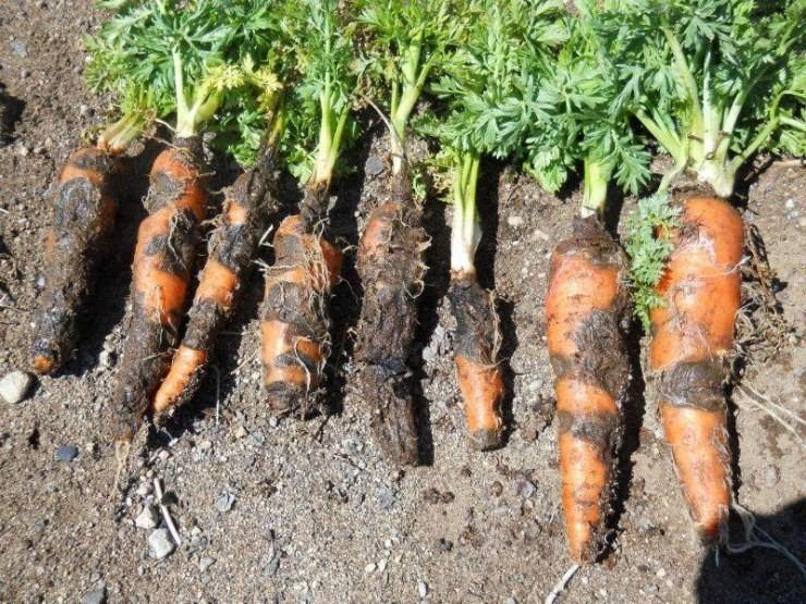 морковь сгнила