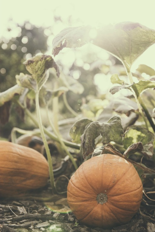 спелые тыквы на грядке