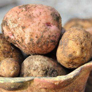 клубни картофеля