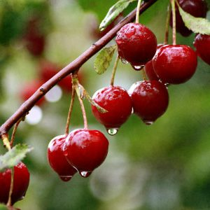 ветка вишни с каплями