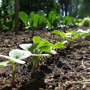 выращивание редиса осенью
