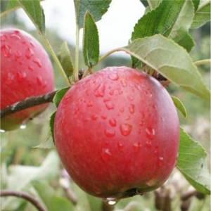 какой сорт яблони выбрать