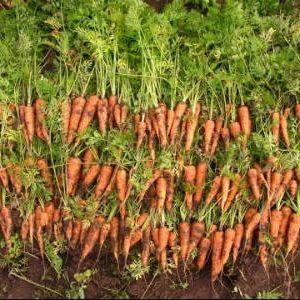 как подкармливать морковь в открытом грунте