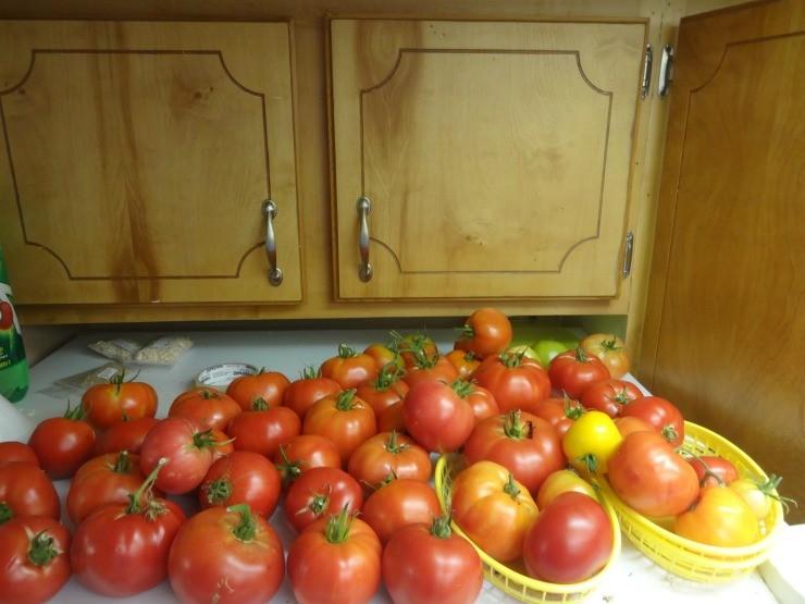 сортировка плодов томатов