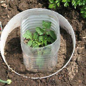 выращивание томатов в кольцах