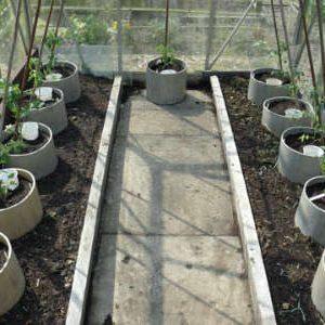 томаты в кольцах в теплице