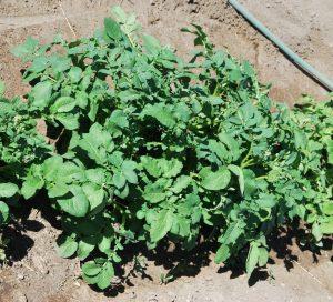 картофель после окучивания