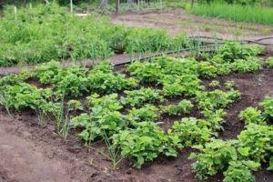 грядка с клубникой (садовой земляникой)