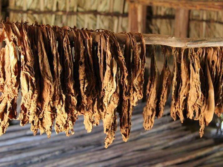 сушка листьев табака
