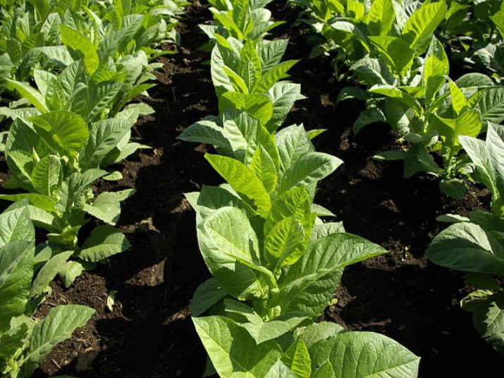 Сорта махорки для выращивания в сибири 78