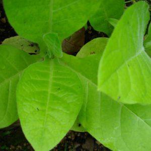 растения табака