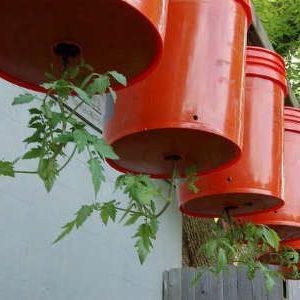 томаты в ведрах вверх корнями
