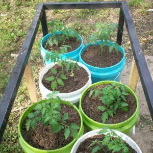 томатные саженцы в ведрах