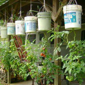 выращивание томатов вверх тормашками