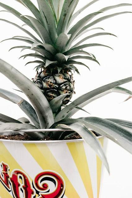 ананас в горшке