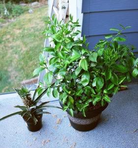 домашние растения лимон и ананас