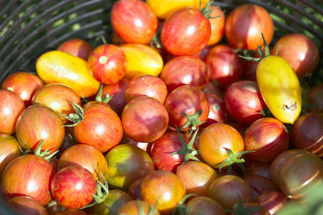 урожай томатов в корзинке