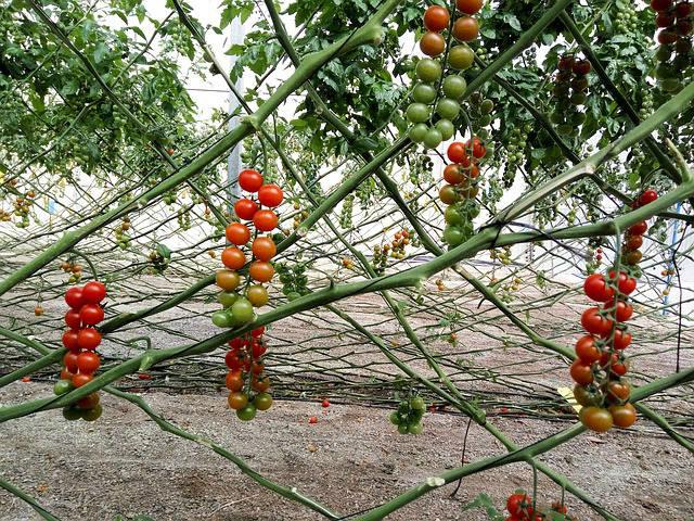 гроздья томатов на ветках