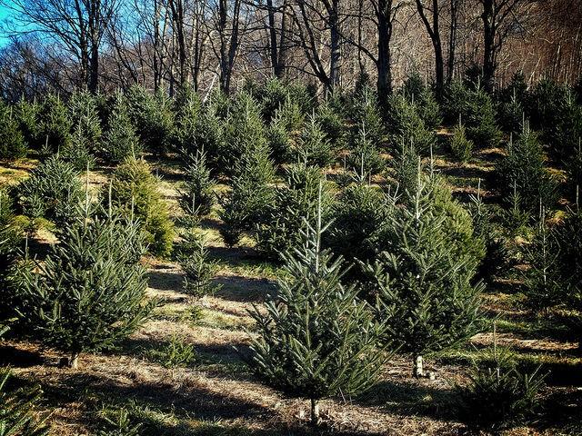 елки в питомнике