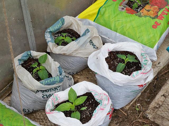 перцы, выращиваемые в мешках