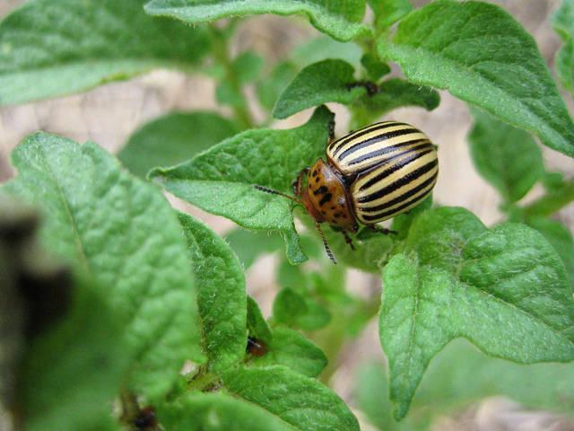 Чем опрыскивать картофель от колорадского жука