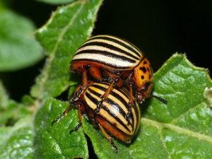 защита картофеля от колорадского жука