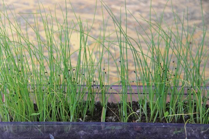 Рассада капусты: 12 секретов выращивания