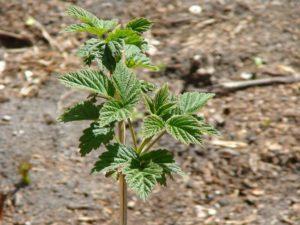 выращивание малины по методу соболева