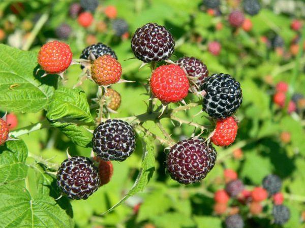 ягоды черной малины