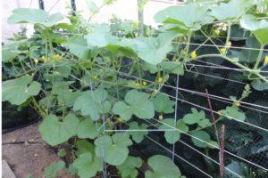 Как вырастить хороший урожай огурцов: 16 простых приемов