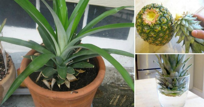 посадка ананаса в домашних условиях