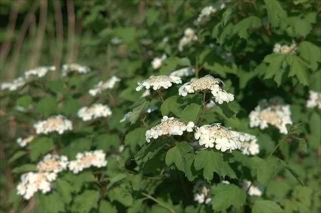 цветущий куст калины