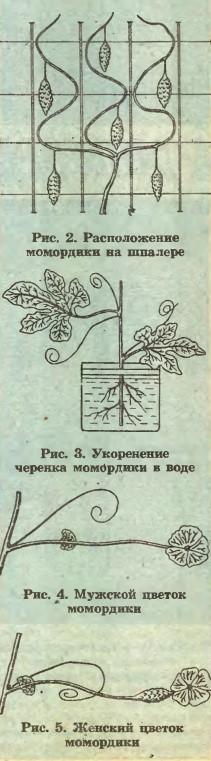 мужские и женские цветки момордики