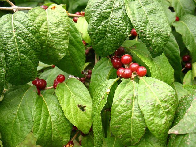 кусты жимолости с ягодами