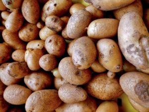 сидераты под картофель осенью