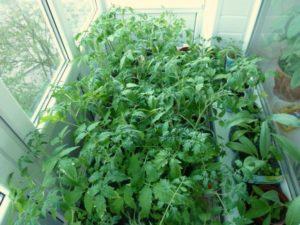 советы по выращиванию рассады томатов