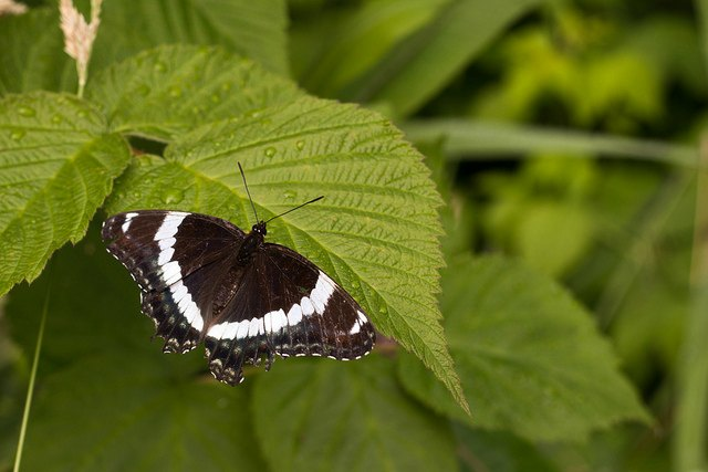 бабочка на листе малины
