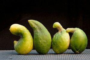 частые вопросы о выращивании огурцов