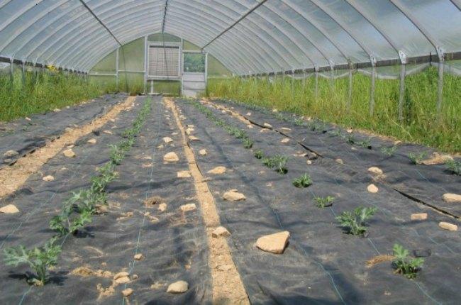выращивание арбузов в теплице на нетканке