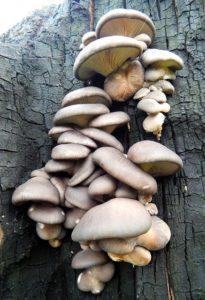 как выращивать грибы на пнях