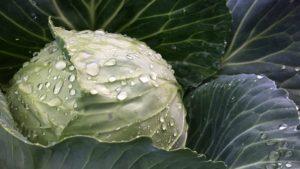 Как вырастить хороший урожай капусты