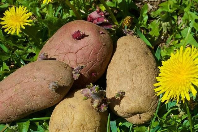 семенные клубни картофеля