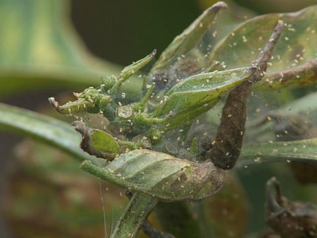 паутинный клещ на растении острого перца
