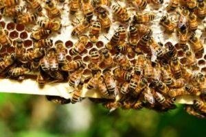 пчелы на рамке