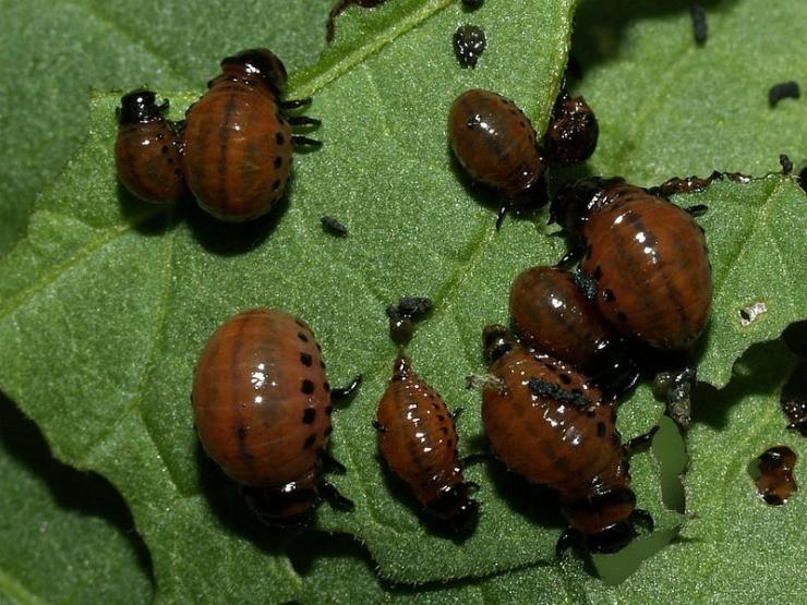 изображение слайдах личинки колорадского жука фото тебя днем рождения