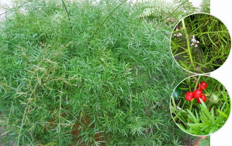 аспарагус густоцветковый шпренгера