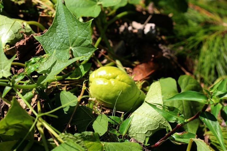 плод чайота на растении
