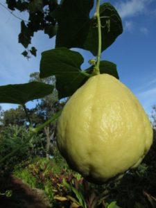 Удивительный чайот (мексиканский огурец): описание, выращивание и уход