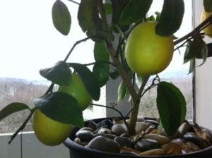 вырастить лимон из косточки в домашних условиях