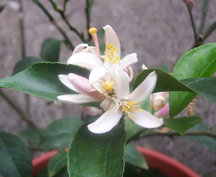 цветы лимона
